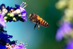 Bees Are Dying Year-Round Now [ARTICLE] Pesticides/Herbicides - Monsanto - RoundUp - Glyphosate