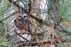 Northern Saw Whet Owl Photo | Bird Decor | Owl In Pine Tree Art | Nature Photography | Hotel Wall Lobby Art | Restaurant Decor | Owl Print by FeatherWindStudio on Etsy