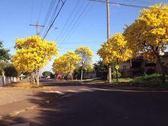 Rua tranquila e florida pelos ipês amarelos em Cascavel, estado do Paraná, Brasil.  Fotografia: Debora Lorenzi.
