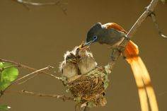 Paradise Flycatcher with chicks. House Property, Property For Sale, Paradise, Birds, Animals, Animales, Animaux, Bird, Animal