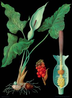 Wild Arum - The Art of Instruction: Vintage Educational Charts from the 19th and 20th Centuries