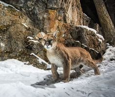 photo by @chamiltonjames / Charlie Hamilton James - A female mountain lion stalks along a crevice late last night near Grand Teton National Park, Wyoming. I haven't seen this cat before and assume she's new to the area. Camera traps are great - not just for taking photos of animals that are hard to see but also to monitor movements of different species and different individuals. Shot on assignment for @natgeo