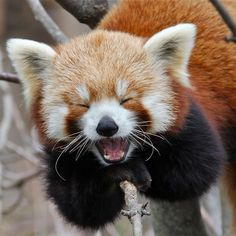Red Panda - She looks like she is busting up laughing at something. Too cute!