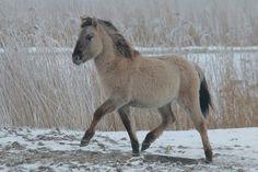Konik horse
