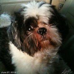 Pepperとドライブ #shihtzu #dog #philippines #フィリピン #犬 #シーズー