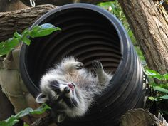 Raccoon at the WNC Nature Center, Asheville's Wildlife Park