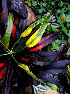 Colourful Croton.