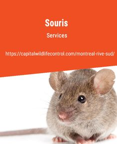 We are professionals in animal pest control, including mice control in the Beloeil, Boucherville, Brossard, and Longueuil areas. Call us at Mice Control, Pest Control, Facts About Mice, Mice Removal, Pest Management, Body Fluid, Small Groups, That Way, Montreal