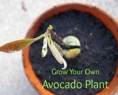 Wonder how many you'd need to keep stocked up!?  :) How to Grow Your Own Avocado Plant