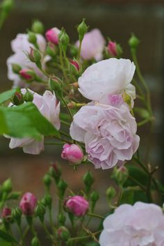 Blush Noisette (Noisette Rose)