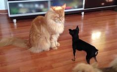 Maine Coon With Dog