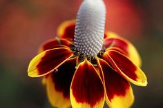 Beautiful Mexican Hat Perennial Flower Drought door CheapSeeds, $2.75