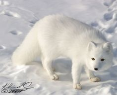 Cute Arctic Fox Pup