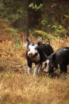 Learn how to raise pigs on pasture for a healthier litter and more nutritious meat.