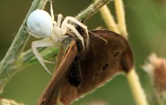 White Crab Spider catching a Butterfly - Public Domain Photos, Free Images for Commercial Use Crab Spider, Public Domain, Free Images, Insects, Commercial, Butterfly, Photos, Animals, Beautiful