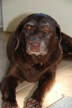The Bonz blog: Maggie, a chocolate lab, is the 'South Beach greeter dog'