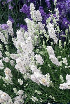 Blue Mountain White English Lavender (Lavandula angustifolia) - an extremely rare and lovely lavender with pure white flowers and pale green-grey foliage; exclusive to Downderry in the UK; introduced from New Zealand; very hardy.