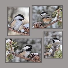 Chickadees in Winter