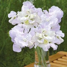 Sweet Pea Arthur Hellyer Seeds ONLY £2.35 from Mr Fothergill's Seeds and Plants…