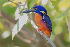 First Impressions – Tamron Australian Birds, Kingfisher, Amazing Nature, Tattoo Inspiration, Backyard, Animals, Canvas, Google, Pretty Birds
