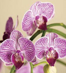 Mini Phalaenopsis Orchid