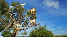 In the southwest of Morocco, goats climb trees. And it's not a case of the odd unruly goat scrambling up a trunk for the sake of mischief. You could easily find a dozen goats standing on the branches of a single tree. The trees in question are Argania spinosa, or argan, a species endemic to Morocco and a small region of western Algeria. Goats are drawn to the argan's fruit, which ripens in June each year