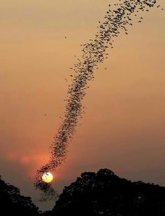 Bat swarm at sunset