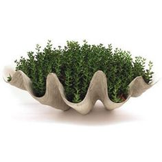 Giant Clam Shell Planter By Inner Gardens