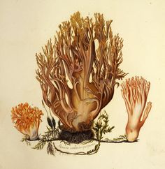 Ramaria formosa. Image is under CC BY-NC-SA of Natural History Museum of Denmark (http://1url.cz/a2G9).