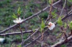 Цветки абрикоса весной