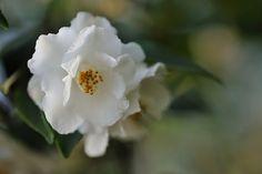 Camellia japonica 'Popcorn' (U.S., 1963)