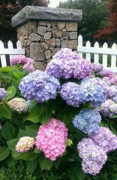 hydrangea garden care Wow, so - gardencare Hortensia Hydrangea, Hydrangea Garden, Growing Hydrangea, Hydrangea Macrophylla, Blue Hydrangea, Climbing Hydrangea, Hydrangeas, Garden Care, Flower Beds