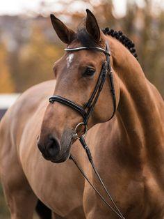 Oldenburg, Beautiful Horses, Tack, Equestrian, Animals, Horses, Pictures, Pretty Horses, Animales