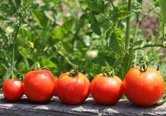 Использование спелых плодов для ускорения созревания томатов