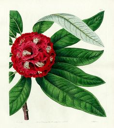 stilllifequickheart:  Tree Rhododendron Sydenham Edwards 1815