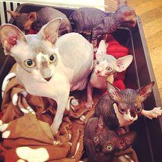 Des Patients tout nus! Nos patients ne sont généralement pas habillés (sauf petites exceptions…) mais les plus dénudés que nous ayons sont les Sphynx, ces chats sans poils particulièrement affectueux. Plus d'infos sur cette race de chat unique en son genre...