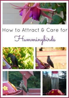 How to Attract & Care for Hummingbirds (Plants to Grow, Homemade Hummingbird Food)