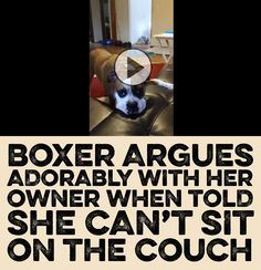 Boxer argues ADORABLY with her owner when told she can't sit on the couch! <3