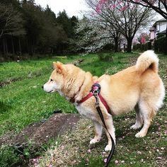 Pinを追加しました!/桜が咲いてるよ。  #cherryblossom #桜 #shiba #dog #komugi #柴犬 #shibainu