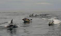 https://flic.kr/p/B3PC8p | Common and dusky dolphins together | Delfin oscuro  - Dusky dolphin  Lagenorhynchus obscurus and Delphinus delphy in front of the city of Puerto Madryn