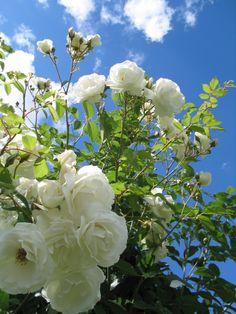 schneewittchen rose bush garden plants pinterest. Black Bedroom Furniture Sets. Home Design Ideas