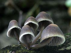 prilbička hnedosivá Mycena tintinnabulum (Paulet) Quél.