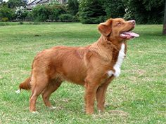 Toller / Nova Scotia Duck Tolling Retriever