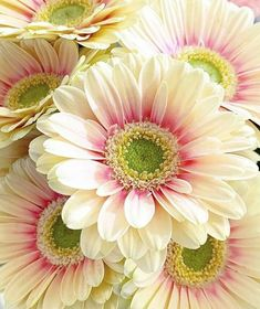 Gerbera Gänseblümchen - Flower and plant species - Blumen