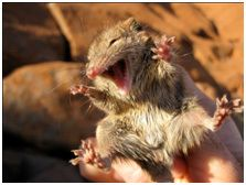 The arutju (fat-tailed antechinus) is surveyed in the park every five years. The survey was completed in January 2014