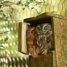 Eastern Screech Owls for @Julie Madrid