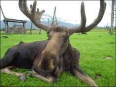 Moose at Alaska Wildlife Conservation Center. First place we went to when we lived in alaska.