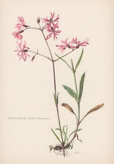 Botanical Print Lychnis flos-cuculi Ragged by AntiquePrintGarden