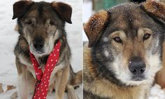 Gonzo and Poncho are currently up for adoption at the NH Sled Dog Rescue center in Jefferson, New Hampshire.
