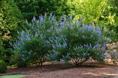 Chaste tree (Vitex agnus-castus) Traditional Landscape by Agricultural Services Vitex Agnus Castus, Winter Crops, Winter Plants, Purple Trees, Butterfly Bush, Traditional Landscape, Garden Inspiration, Garden Ideas, Outdoor Plants